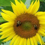 McKee Besher sunflower