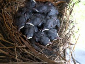 House Wren babies on a nest