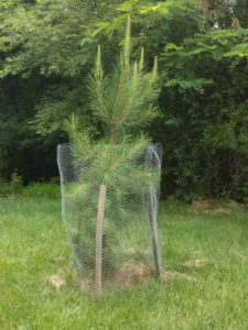 Loblolly Pine a year later
