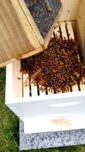 Releasing Bees into Hive