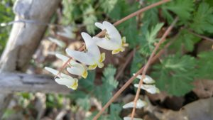 Dutchman's Breeches (Dicentra cucullaria) photo by Allison G